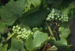 vino-uva.jpg