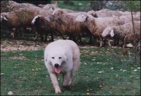 cane pastore.jpg